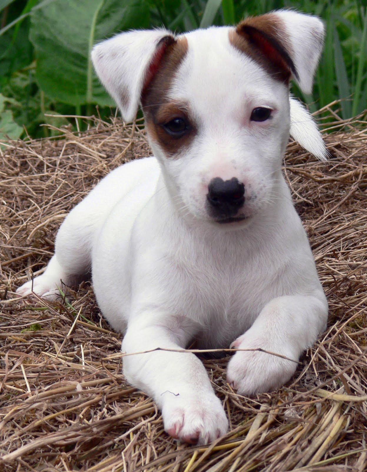 Adopter un jack russell terrier à la campagne